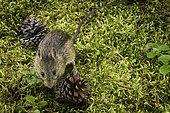 Western Jumping Mouse (Zapus princeps), Glacier National Park, Montana.