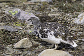 White-tailed Ptarmigan, Lagopus leucurus, whistler mountain, Alberta Province, Canada.