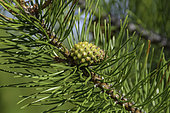 Lodgepole Pine pinecone and needles, Pinus contorta subsp. latifolia, photographed in Montana.