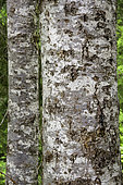 Pacific Silver Fir (Abies amabilis), Willamette National Forest, Oregon.