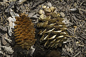 Comparison of Limber Pine cone on right and Engelmann Spruce cone on left, Great Basin National Park, Nevada.