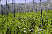 Regrowth of Lodgepole Pine forest, Pinus contorta subsp. latifolia, following fire, Montanta.