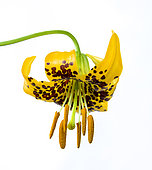 Columbia lily, also known as Tiger Lily, Lilium columbianum, Willamette National Forest, Oregon.