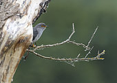 Cuckoo (Cuculus canorus) perched behind a tree, England