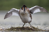 Great crested grebe (Podiceps cristatus) Bird standing on the nest with his wings open