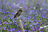 little owl (Athene noctua) perched on a post amongst echium