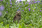 little owl (Athene noctua) looking for food amongst echium