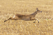Chinese water deer (Hydropotes inermis) male running, England