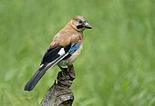Eurasian jay (Garrulus glandarius) perched on a tree, England