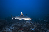 Grey reef shark (Carcharhinus amblyrhynchos) in the Longonie Pass, Mayotte
