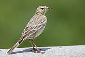 Tawny Pipit (Anthus campestris), side view of an adult standing, Abruzzo, Italy
