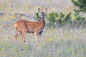 Roe Deer (Capreolus capreolus italicus), adult female standing on the grass, Abruzzo, Italy