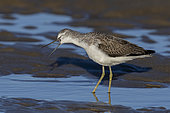 Greenshank (Tringa nebularia), side view of an adult swallowing an eel, Campania, Italy