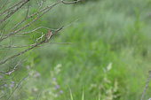 House Sparrow (Passer domesticus) female on a branch, Murviel les Béziers, Hérault, France