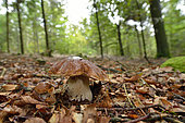 King Bolete (Boletus edulis) on a forest path in the Espinouse Massif, Hérault, France