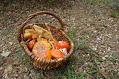 Collecting Caesar's mushroom (Amanita caesarea), Hérépian Hérault, France