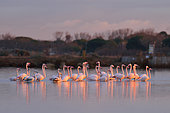Great flamingo (Phoenicopterus roseus) group walking in the water, Etang de la Grande Maire, Serignan, Hérault, France