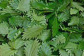 Collecting Nettle Leaves (Urtica sp) to be dried to make herbal tea, France