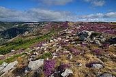 Heather with Heath (Calluna vulgaris) in bloom on the slopes of the Caroux and Espinou Massif, Hérault, France