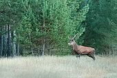 Red deer (Cervus elaphus) at the edge of the forest, Matemale, Eastern Pyrenees, France