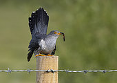 Cuckoo (Cuculus canorus) perched on a post with a caterpillar in his bill