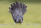 Cuckoo (Cuculus canorus) perched on a barbed wire and displaying
