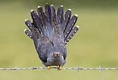 Coucou gris (Cuculus canorus) paradant sur une clôture de fil de fer barbelé, Angleterre