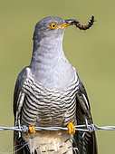 Cuckoo (Cuculus canorus) perched on a barbed wire with a ctarepillar in his bill