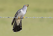 Cuckoo (Cuculus canorus) perched on barbed wire with a caterpillar in his bill
