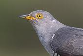 Cuckoo (Cuculus canorus) head details, England