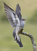 Cuckoo (Cuculus canorus) perched on a branch with his wings open, England