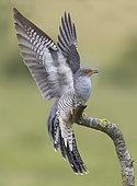 Coucou gris (Cuculus canorus) sur une branche avec les ailes ouvertes, Angleterre