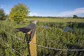 Cuckoo (Cuculus canorus) perched on a post in the British countryside