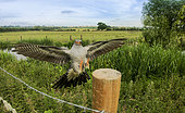 Cuckoo (Cuculus canorus) landing on a fence post in the British countryside