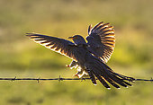Cuckoo (Cuculus canorus) landing on a brabed wire backlit, England