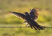 Coucou gris (Cuculus canorus) se posant sur une clôture de fil de fer barbelé, Angleterre