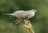 Cuckoo (Cuculus canorus) perched on a branch, England