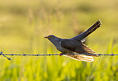 Cuckoo (Cuculus canorus) perched on a barbed wire fence, England