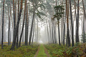Path through pine forest on misty morning, Hesse, Germany, Europe