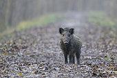 Wild boar on path, Sus scrofa, Germany, Europe