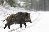Wild boar in wintertime, Bavaria, Germany, Europe