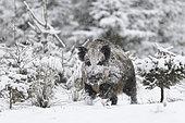 Wild boar at snowfall, Tusker, Bavaria, Germany, Europe