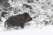 Wild boar at snowfall, Sus scrofa, Bavaria, Germany, Europe