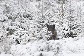 Wild boar in wintertime, Sus scrofa, Bavaria, Germany, Europe
