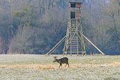 Western roe deer in front of hunting hide, Roebuck, Capreolus capreolus, Germany, Europe