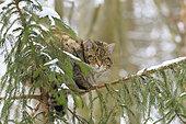 Chat sauvage (Felis silvestris) dans un épicéa en hiver, Bavière, Allemagne