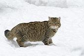 Wildcat in wintertime, Felis silvestris, Bavaria, Germany, Europe