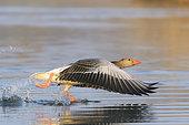 Starting Greylag Goose, Anser anser, Hesse, Germany, Europe