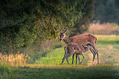 Red deer (Cervus elaphus) doe and fawn at the edge of the forest, Ardennes, Belgium