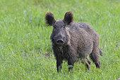 Wild boar, Sus scrofa, Female, Hesse, Germany, Europe